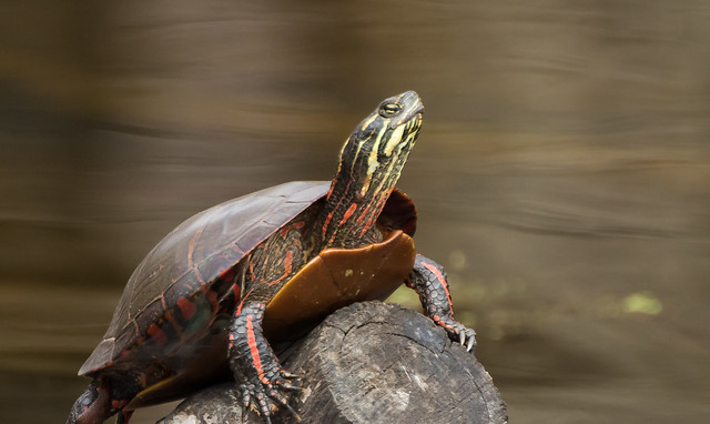 Painted Turtle (explored 5/4/18), Canon EOS 7D MARK II, Canon EF 400mm f/4 DO IS II USM