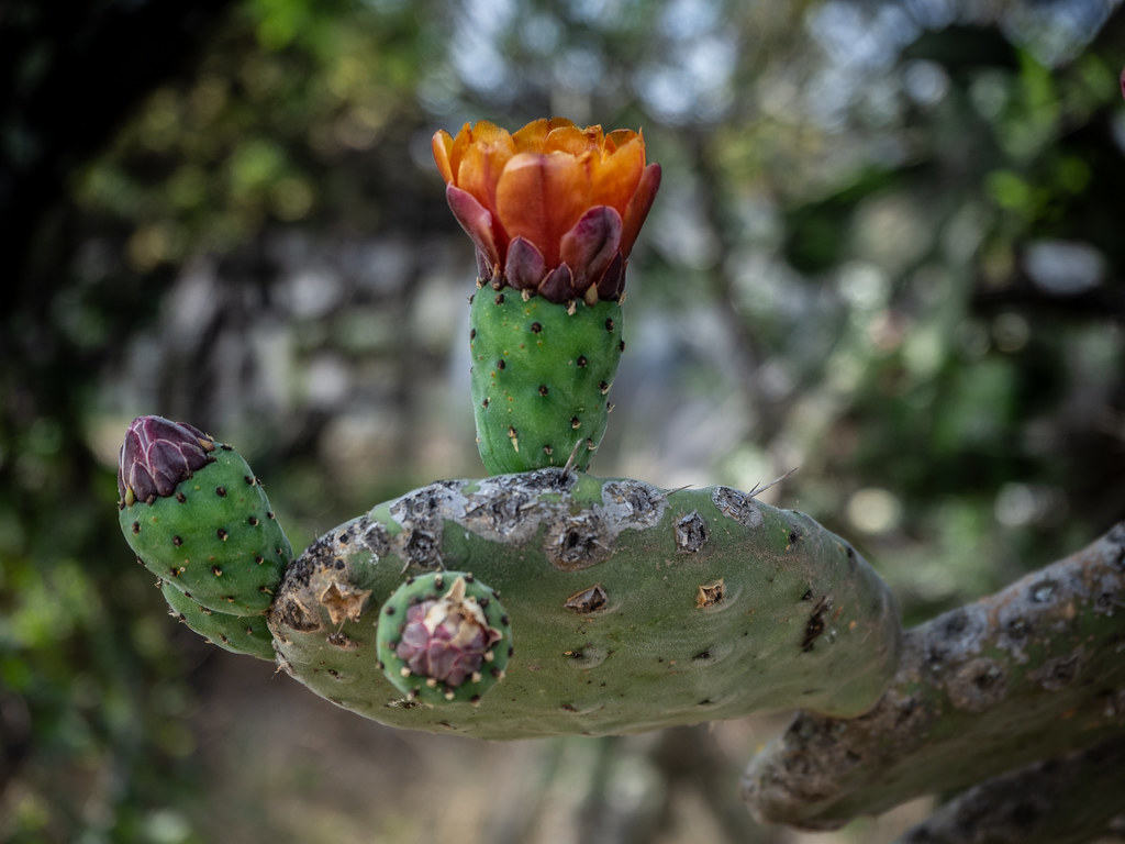 Cactus flowers at the Charco Jardin Botanico