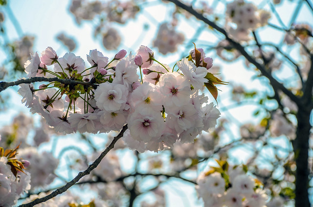 Cherry blossom close Osaka