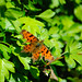 Comma butterfly at rest