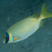 Small photo of Masked rabbitfish (Siganus puellus)