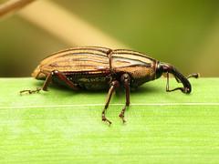 Fancy Billbug