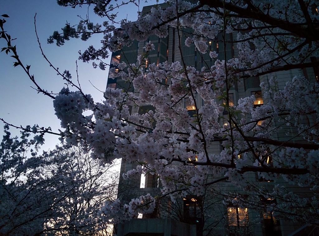 Sakura of Robarts in twilight (5) #toronto #sakura #cherryblossom #universityoftoronto #robartslibrary #harbordstreet #latergram