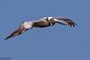 Brown Pelican, Pelecanus occidentalis by Kevin B Agar