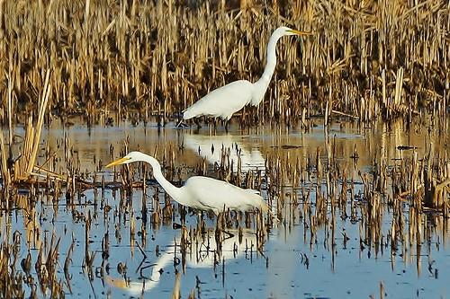 Spring Egrets