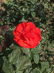 La roseraie - L'Haÿ-les-Roses