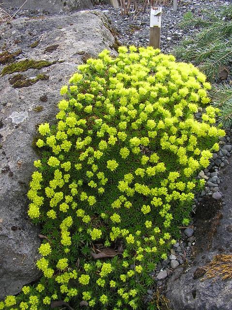 Saxifraga sancta, Reykjavik Botanical Garden