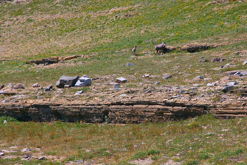 IMG_5028 Bighorn Sheep