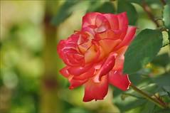 Розарий (Rose garden)