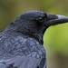 Carrion Crow (Corvus corone) by After-the-Rain