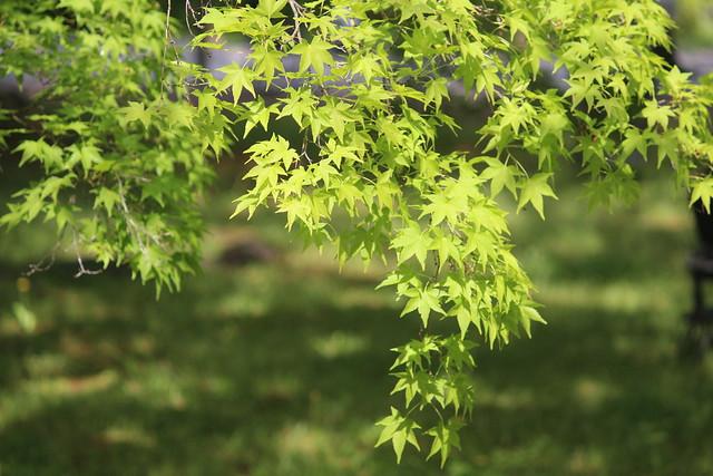 toji-aomomiji012