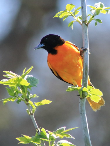 Baltimore Oriole 06-20180505