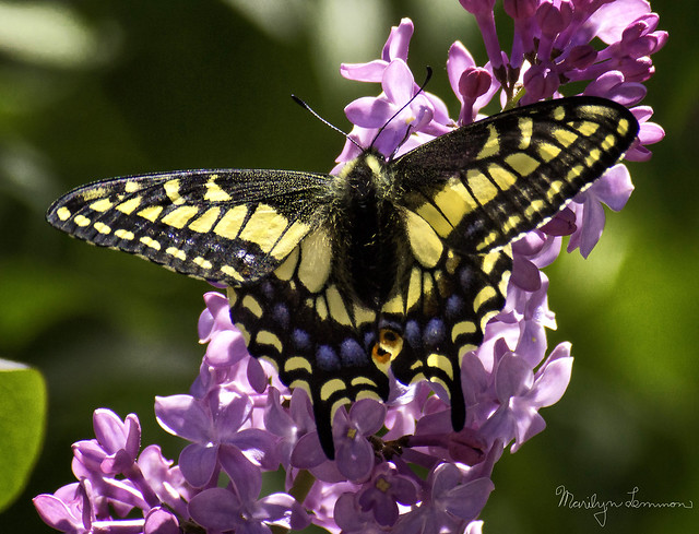 Anise swallowtail, top view, Sony SLT-A77V, Sony DT 55-300mm F4.5-5.6 SAM (SAL55300)