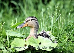 Mallard with Coltsfoot