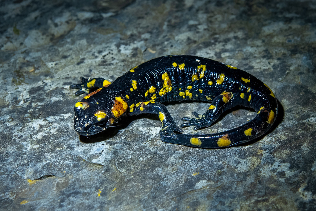Young Fire Salamander