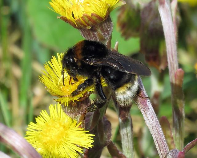 Vestal Cuckoo Bee - Bombus vestalis
