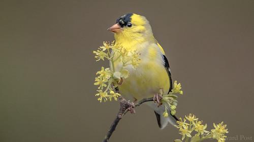 American Goldfinch (Spinus tristis) on Sassafras (Sassafras albidum)