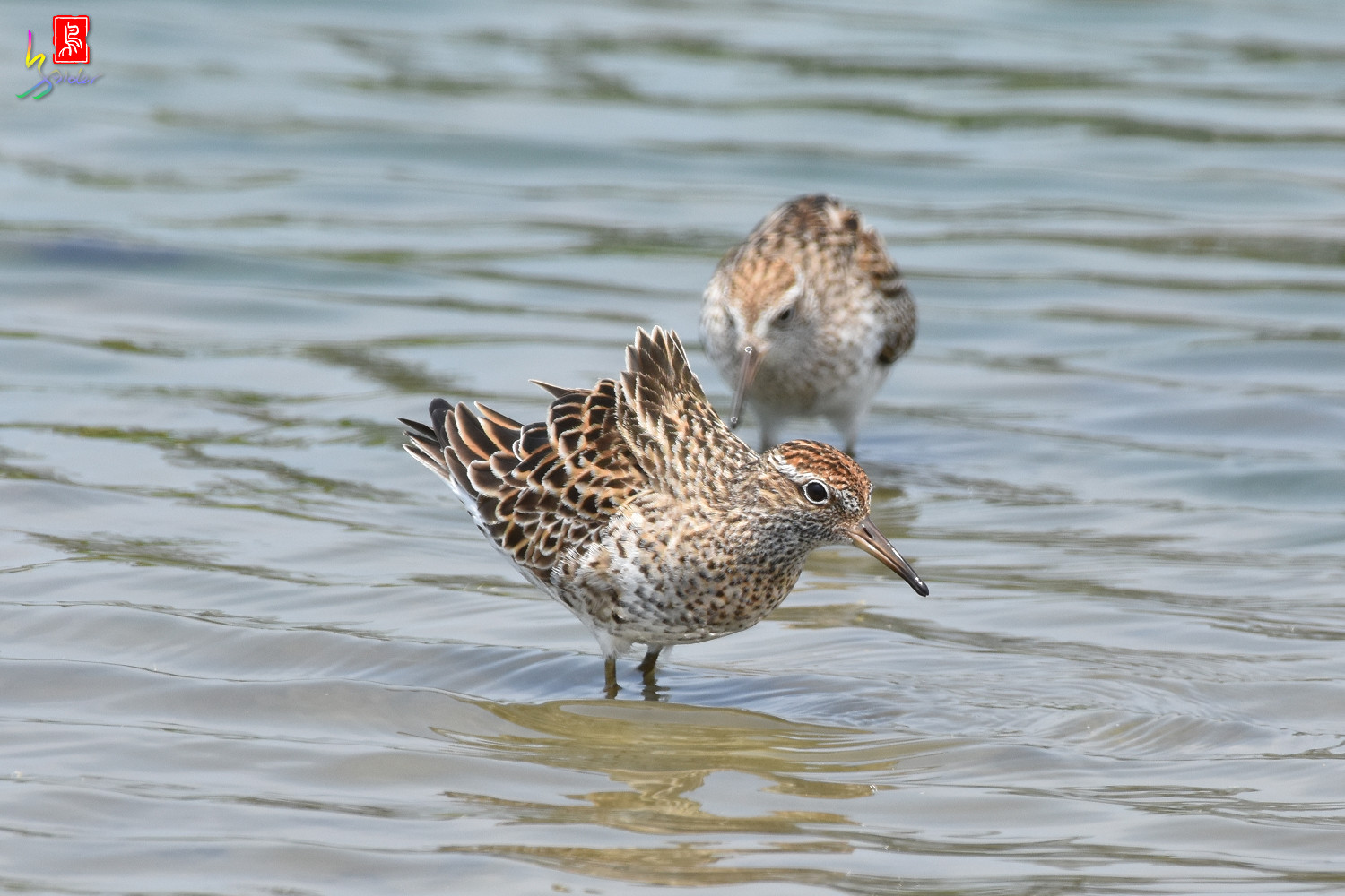 Sharp-tailed_Sandpiper_3782