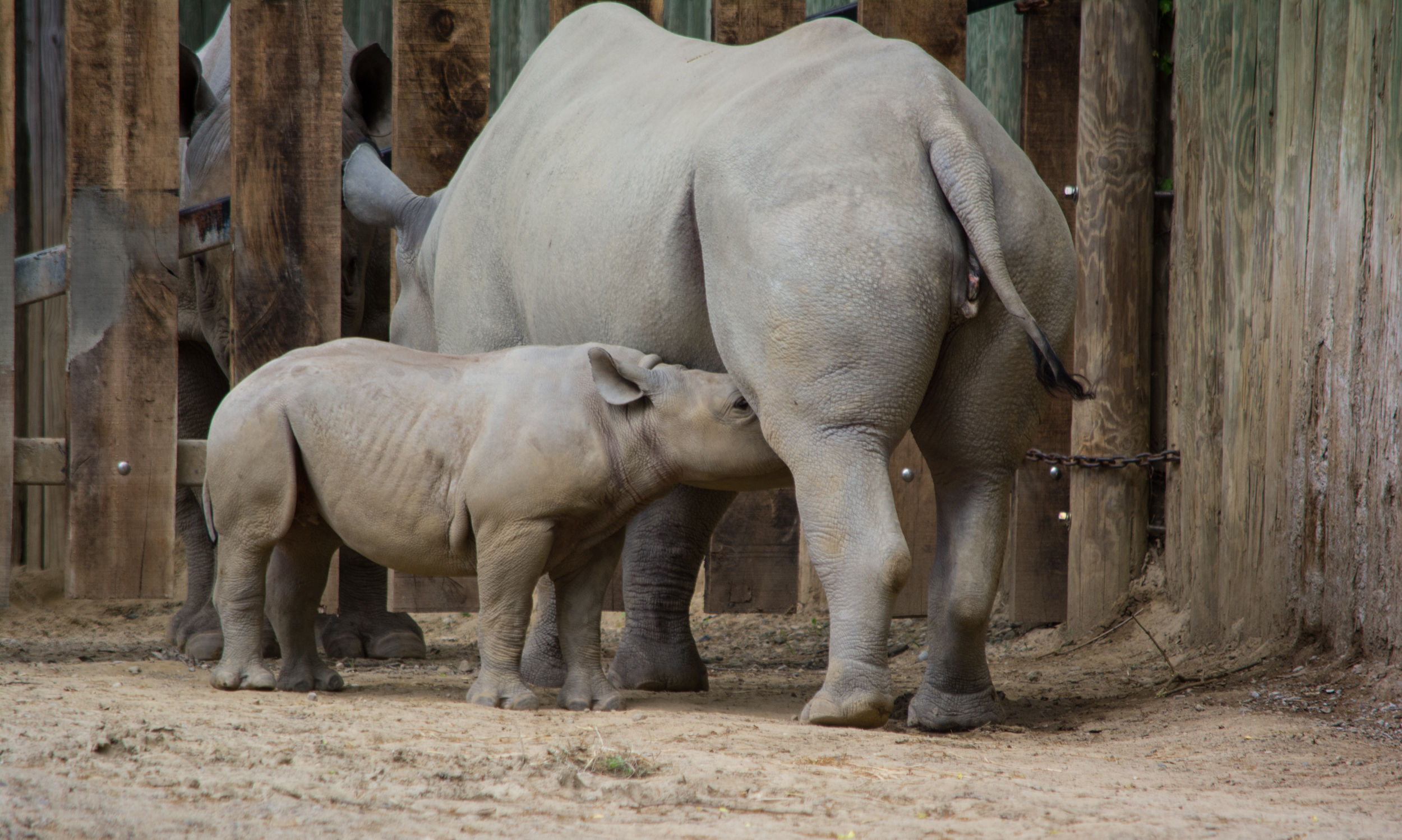 baby rhino 04 - Cleveland Zoo
