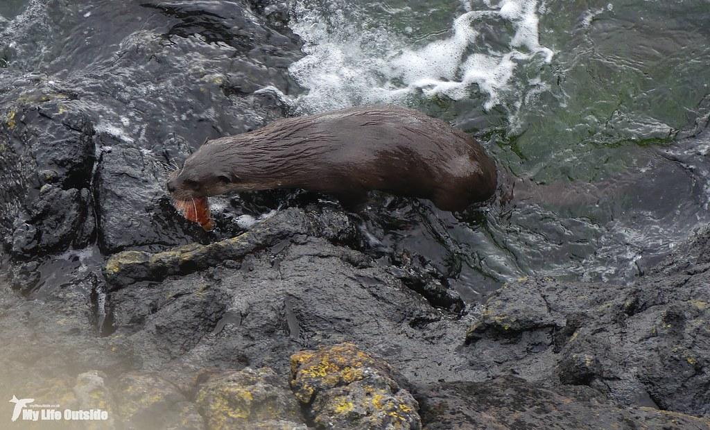 P1140214 - Otter, Isle of Mull