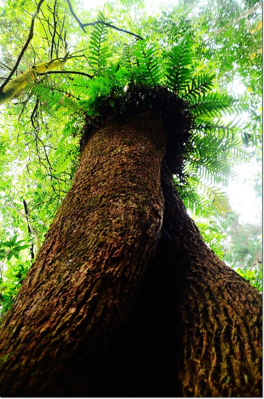 牛樟巨木 2