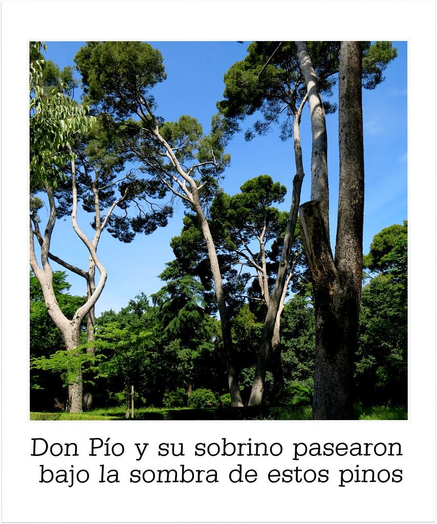 en El Retiro de Madrid: pinos de Don Pío
