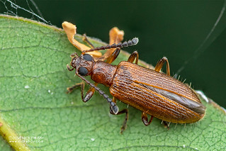 Darkling beetle (Lagriini) - DSC_5344