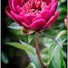 Paeonia lactiflora Hari-ai-nin