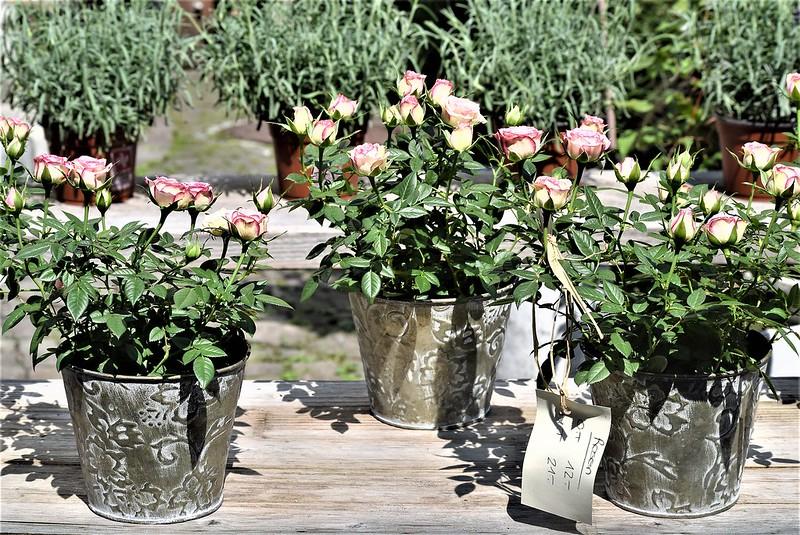 Roses 25.07 (1)