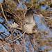 Eurasian-Collared-Dove-2