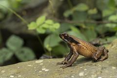 Truando toad - Rhaebo haematiticus