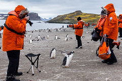 Gentoo Penguin Chick Spreads Its Wings on Barrientos Island, South Shetland Islands