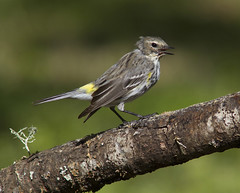 Yellow-rumped Warbler (molting stage)