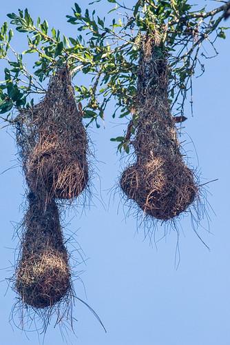 Chestnut-headed Oropendola nests