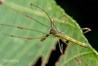 Big-jawed spider (Tetragnatha sp.) - DSC_5571