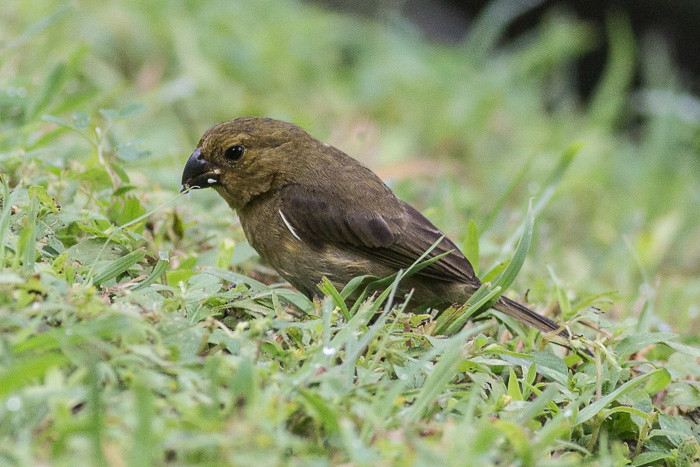 Variable Seedeater - female
