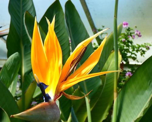 Kew lily