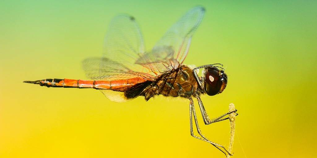 Cette vidéo révèle le secret du vol arrière des libellules