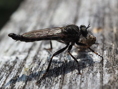 Kite-tailed Robberfly - Tolmerus atricapillus