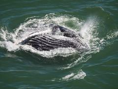 Whale under the Golden Gate Bridge