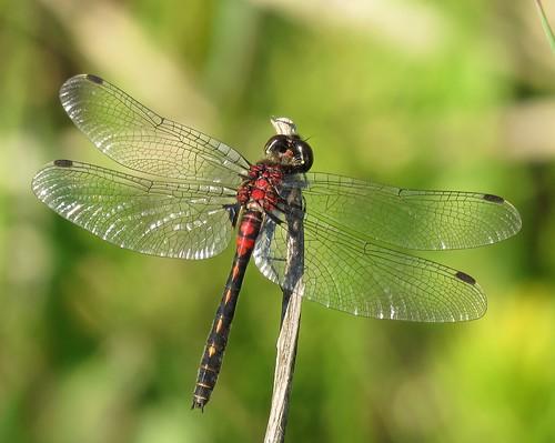 crimsonringedwhiteface canonpowershotsx60 canada alberta canadadragonflies albertadragonflies