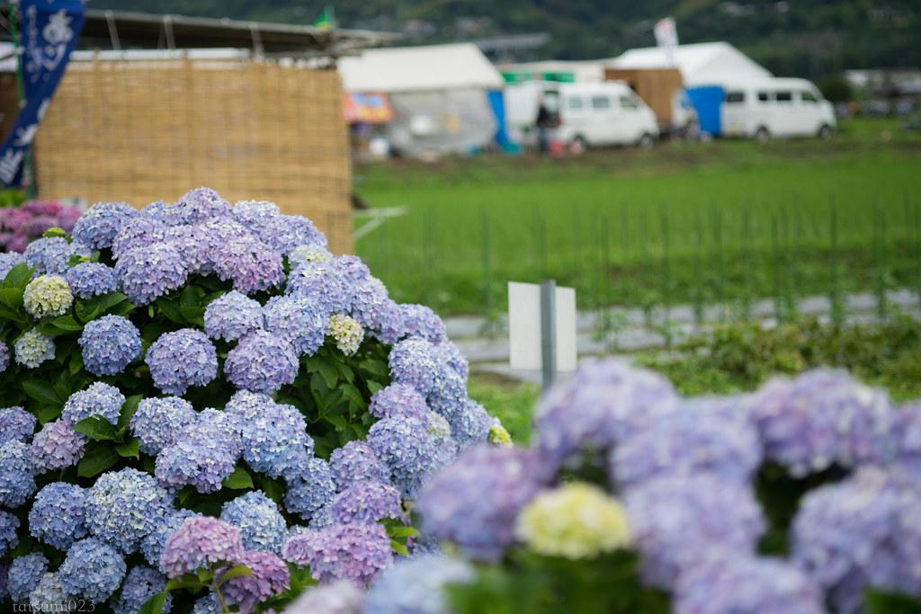 2018-06-16 開成町の紫陽花 006-4