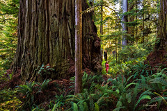 Coast Redwood Discovery 2014