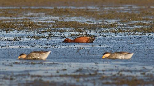 Pato Colorado - Anas cyanoptera - Cinnamon Teal ♂