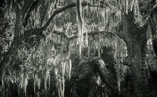 bw canon canon6d canon70200mm fortfredericanationalmonument georgia quercus spanishmoss stsimonsisland summer blackandwhite dark landscape light monochrome moss nature oak oaktrees trees