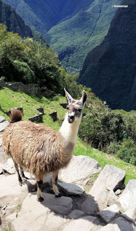 Laama Machu Picchulla!