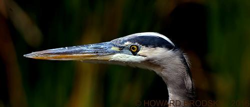 Blue Heron.... head study