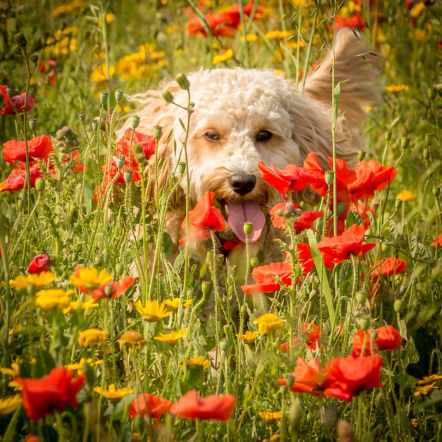 Cockapoo Pictures And Informations - Dog-Breedscom-3707