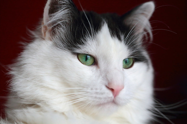 Nobility Among The Felines