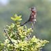 Dartford Warbler (m)